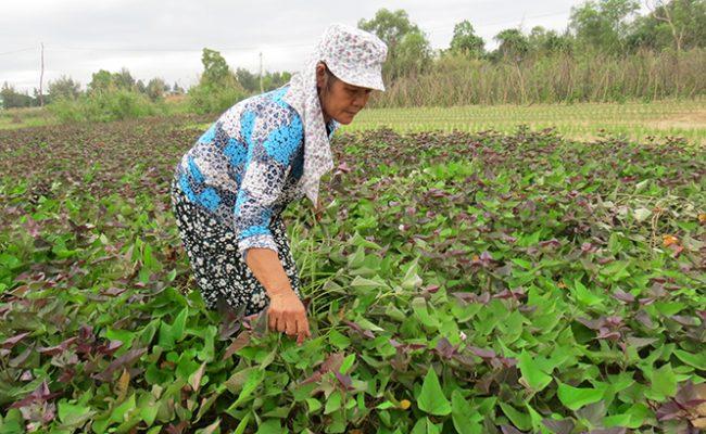 Khoai Lang Bảo Ninh